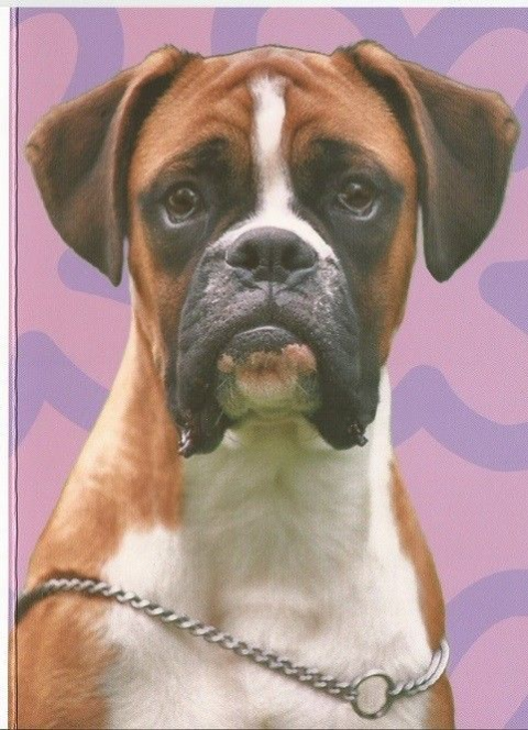 Boxer Dog greeting card with purple background